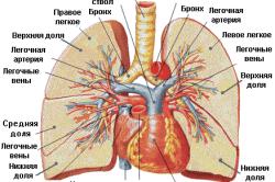 Схема кровообращения в легких