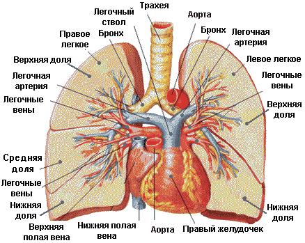 Легкое схема человека